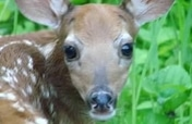 deer pict fellow mortals